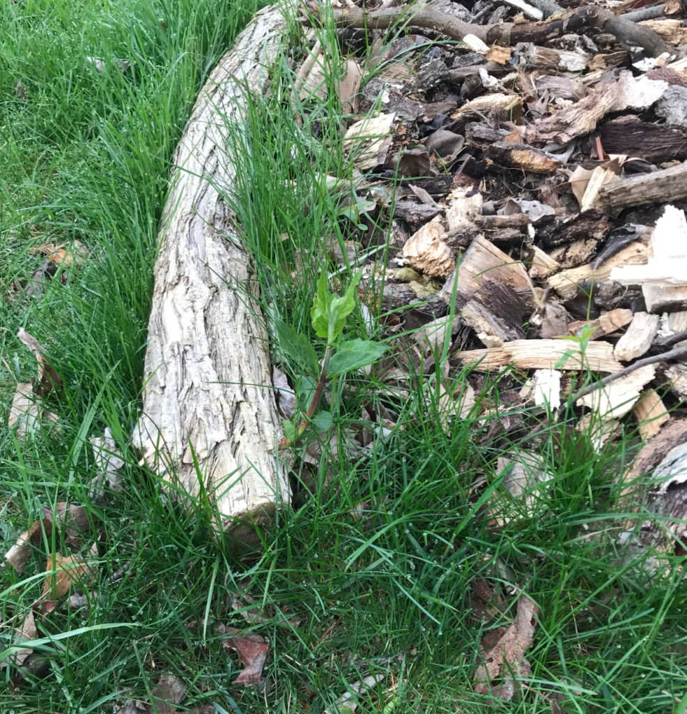 A tree log I've used for landscaping is showing a healthy sprout.