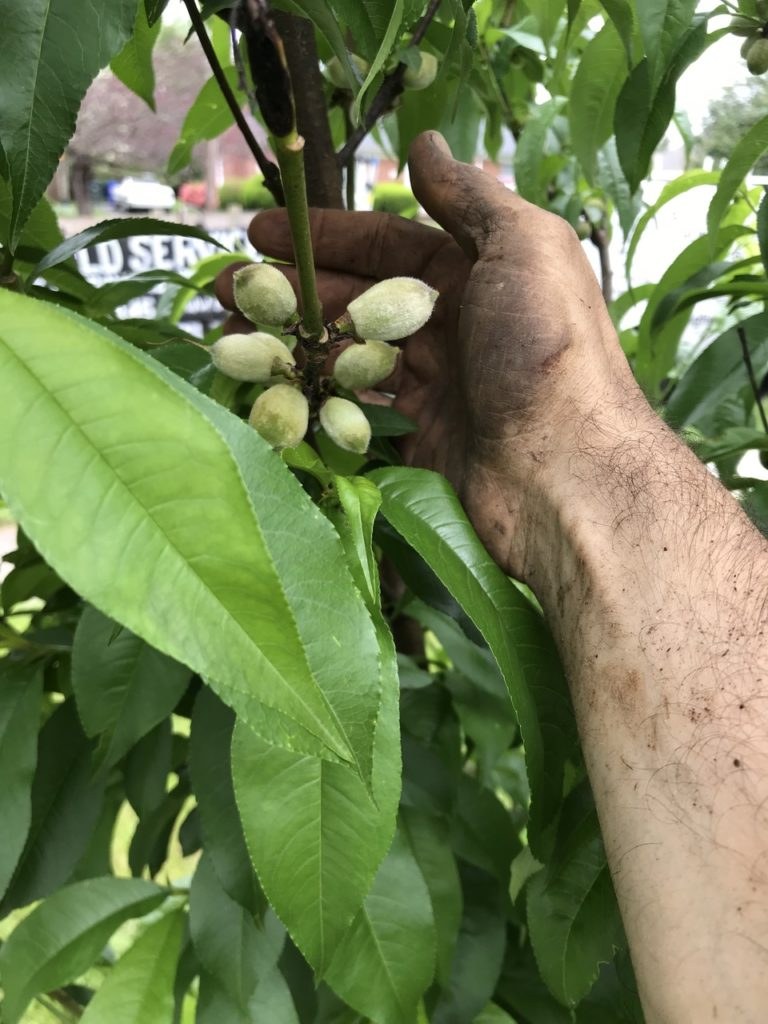 Six peaches are beginning to grow on the tree.