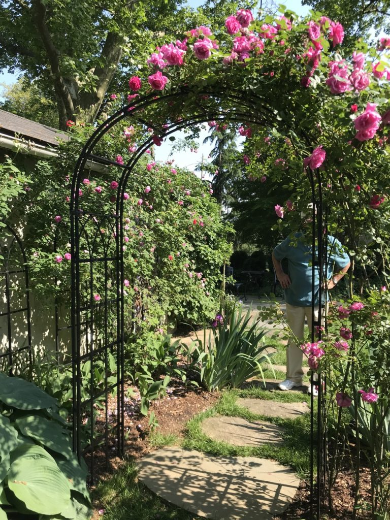 Roses growing up a metal arbor archway.